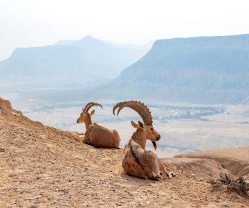 Walia steenbok Ethiopië   Groepsreizen